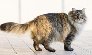 แมวขนยาว