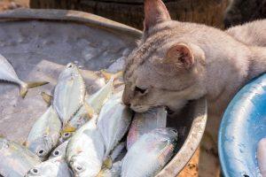 แมวกินปลาทู